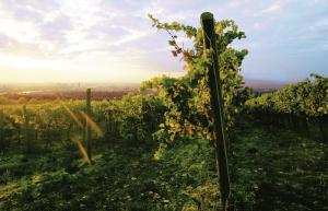 wenen-wijngaarden